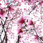 "Elizabeth Nihiser,  ""Cherry Blossoms."" Est. Value: $50"